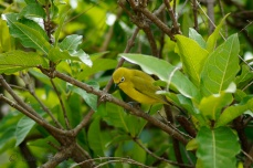 """""""The African yellow white-eye (Zosterops senegalensis) is a species of bird in the Zosteropidae family."""" - Wiki"""