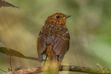 Robin (Juvenile)-2